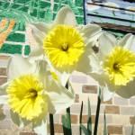 """Daffodils Flower Garden Art Prints Floral Mural"" by BasleeTroutman"