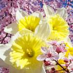 """Spring Daffodils Garden Pink Tree Blossoms"" by BasleeTroutman"