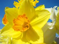 Orange Yellow Daffodil Flower Art Prints Spring