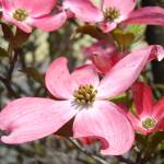 """Big Spring Dogwood Tree Flowers Pink Art Prints"" by BasleeTroutman"