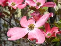 Big Spring Dogwood Tree Flowers Pink Art Prints