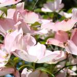 """Pastel Pink Dogwood Flowers Art Prints Springs"" by BasleeTroutman"