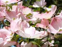 Pastel Pink Dogwood Flowers Art Prints Springs