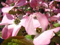 Unique Art Pink Dogwood Flower Pink Spring