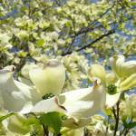 """White Dogwood Flower Tree Forest Art Prints"" by BasleeTroutman"