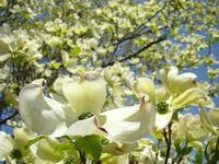 White Dogwood Flower Tree Forest Art Prints