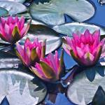 """Waterlilies in Bright Sunlight -- version 2"" by LightHeart"