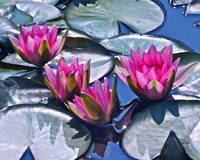 Waterlilies in Bright Sunlight -- version 2