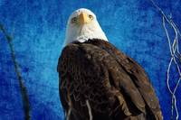 American Bald Eagle Blues
