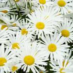 """Daisy Flower Garden Art Prints White Daisies"" by BasleeTroutman"