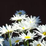 """White Daisy Flowers Floral Art Prints Daisies"" by BasleeTroutman"
