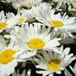 """""""Daisy Flowers Art Prints Daisies Bouquet Garden"""" by BasleeTroutman"""
