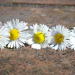 """Little Lawn Daisies Flowers Decorative Art Prints"" by BasleeTroutman"