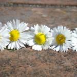 """Little Lawn Daisies Flowers Decorative Art Prints"" by BasleeTroutman"