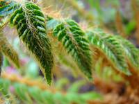 Fern Fronds Art Prints Forest Ferns Natural