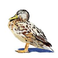 Female Mallard Art Prints & Posters by Christina Hewson