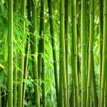 """Bamboo Panorama"" by gabii40"