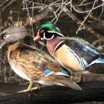 """Wood Duck"" by vpicks"