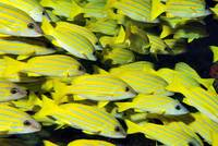 Cloud of Yellow Fish