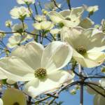 """Blue Sky Spring White Dogwood Flowers Floral"" by BasleeTroutman"