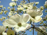 Blue Sky Spring White Dogwood Flowers Floral