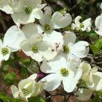 """White Dogwood Flowering Tree Art Prints Flowers"" by BasleeTroutman"