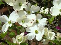 White Dogwood Flowering Tree Art Prints Flowers