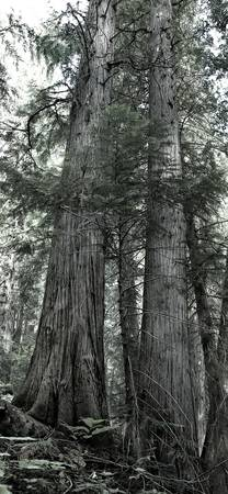 Along the Old Growth Trail