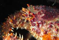 Spiny Crab Close