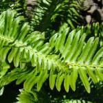 """Forest Ferns Art Prints Green Nature Fern"" by BasleeTroutman"