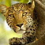 """Leopard Portrait"" by MichaelPoliza"