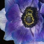 """anemone blues"" by JulieScholz"