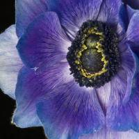 anemone blues by julie scholz