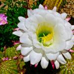 """""White Cactus Flower"""" by AlexandraZloto"