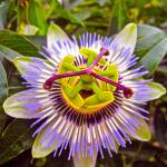 """""Passion Flower"""" by AlexandraZloto"
