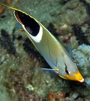 Butterflyfish Frontal Portrait