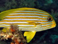 Manado Sweetlips