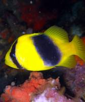 Yellow Fish Manado
