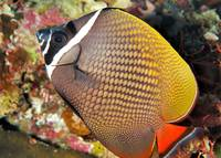 Collare Butterflyfish