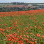 """Poppies Compton2"" by jimhellier"