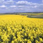 """Rapeseed"" by jimhellier"