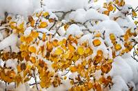 Autumn_Aspen_Leaves_Snow