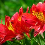 """""""Red flower"""" by pixelez"""