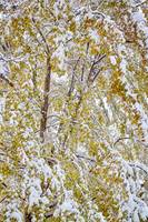 Colorful Maple Tree In The Snow 2