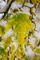 Golden Maple In The Snow