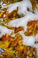 Red Autumn Maple Leaves With Fresh Fallen Snow
