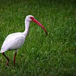 """White Ibis"" by ChrisCrowley"