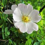 """Burnet Rose, (Rosa pimpinellifolia) (37210-RDA)"" by rodjohnson"
