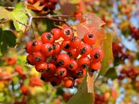 Autumn Red Berries