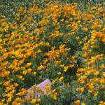 """Picacho Peak Mexican Gold Poppies"" by digitallightcreations"